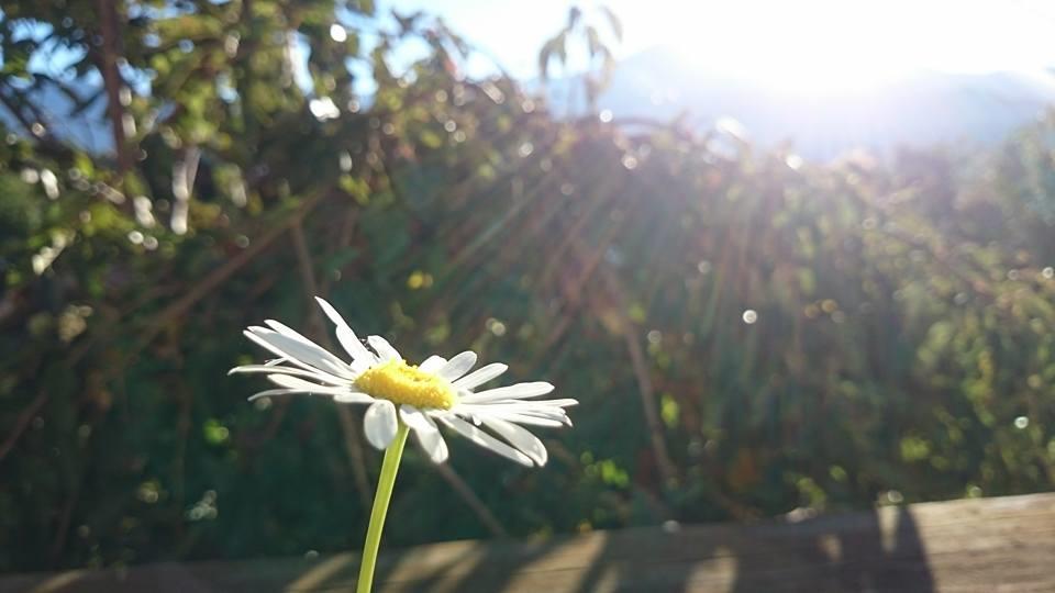 灑滿清晨陽光的馬格麗特